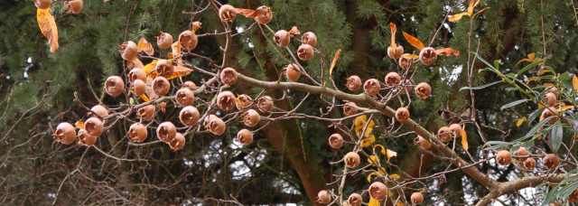 Mespilus germanica 024