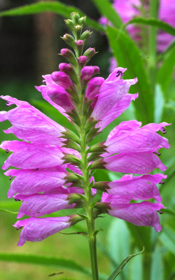 Physostegia virginiana 001-5 from South