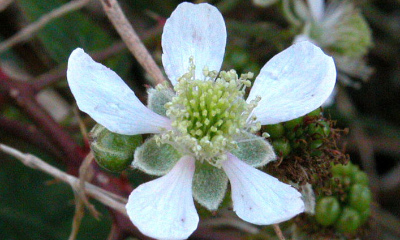 Braaam   Witte bloem