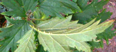 Rubus laciniatus Willd. 003 Cutleaf Blackberry CloseUp