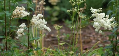 Filipendula vulgaris 001-2 knolspirea ヨーシュシモツケソウ Triming