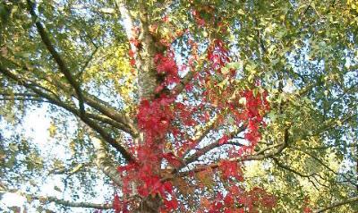 Parthenocissus quinquefolia  002-2 逸出Kranenburg