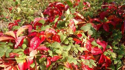 地を這うParthenocissus quinquefolia 002-3 逸出Kranenburg