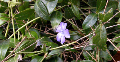 Vinca minor 003 Kleine maagdenpalm the lesser periwinkle triming