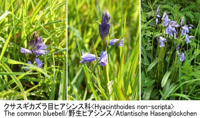 釣鐘草の歌問答 Hyasinthoides non-scripta Collage 010