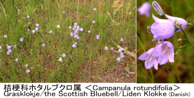 Campanula rotundifolia Collage 010