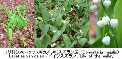 釣鐘草の歌問答 Convallaria majalis  Collage 010