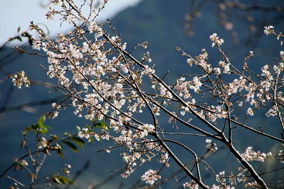 IMG_6744ss10月桜