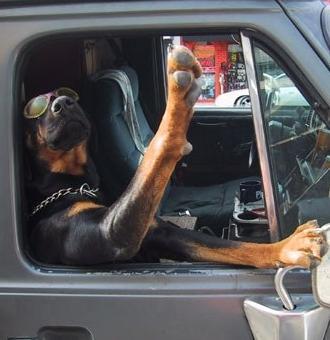 車でエラそうにしている犬のイメージ