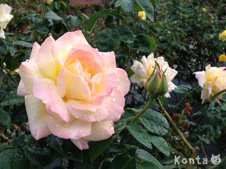 roses_2_20121019141606.jpg