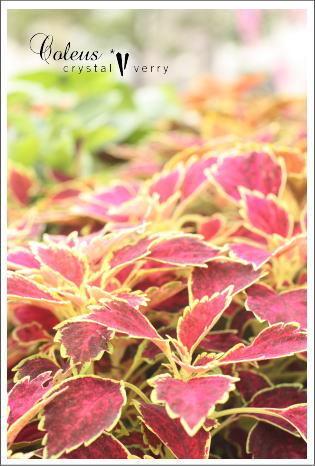 crystal-verry* クリスタルベリー *・オーナーのブログ・*-夏の植物 クリスタル ベリー