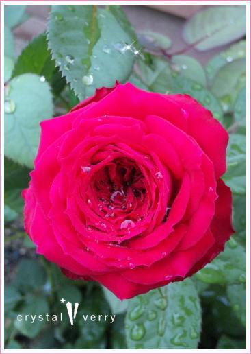 crystal-verry* クリスタルベリー *・オーナーのブログ・*-天使の薔薇