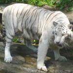 白虎(シロトラ)