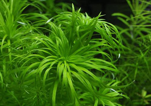 tonina-fluviatilis_06_DSC0197.jpg