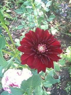 桜ヶ丘 風のガーデン 赤い花