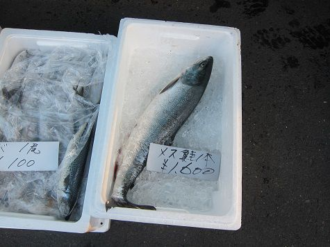 2014 メス鮭
