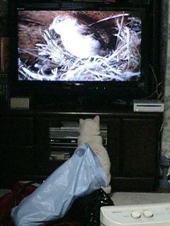 テレビの雀に夢中な猫
