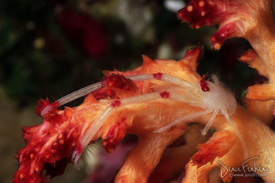 クダヤギクモエビ