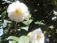 白椿② 20120319