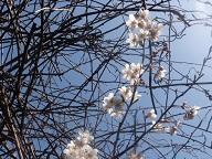 プチサクランボの花④ 20120319