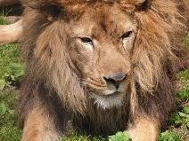 ライオン③