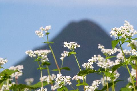 秋そばの花 後方は榛名山
