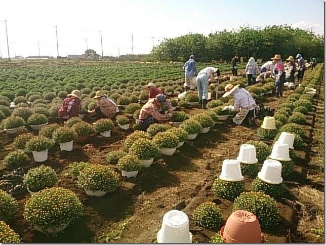 あかぼり小菊の里鉢上げ作業