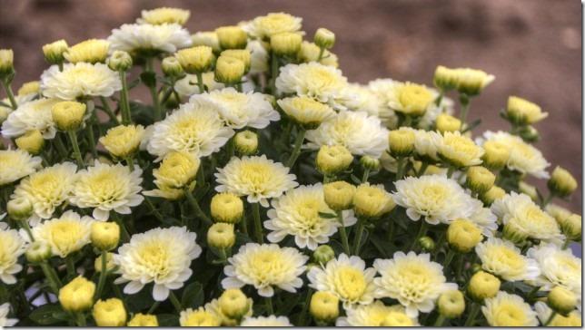 小菊の里、開花状況