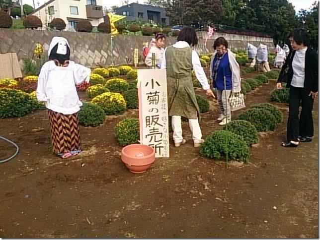 小菊の里、開花状況 (H26/10/14)