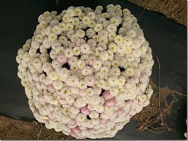 小菊の里、開花状況 (H26/10/18)