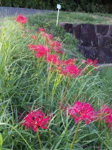まんじゅしゃげの花