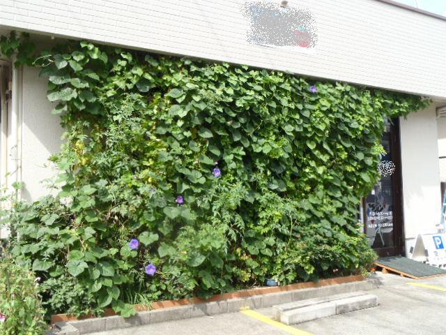 私の店の花壇に植えたゴーヤ&アサガオです。 GREENカーテン、と言うよりも、「GREENの壁」になりました!