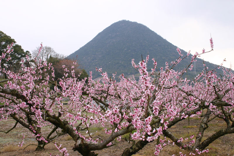 梅薫る讃岐富士 (香川県 綾歌郡 飯山町)