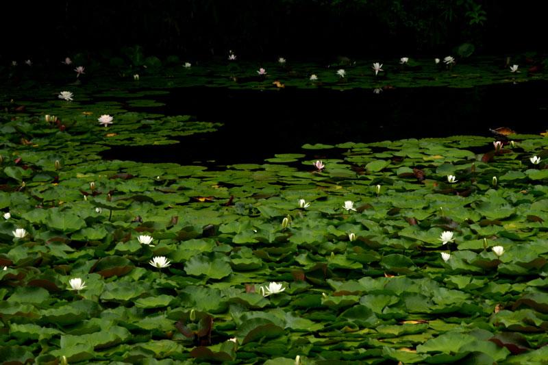 睡蓮 白水池 (香川県 高松市 西植田町)