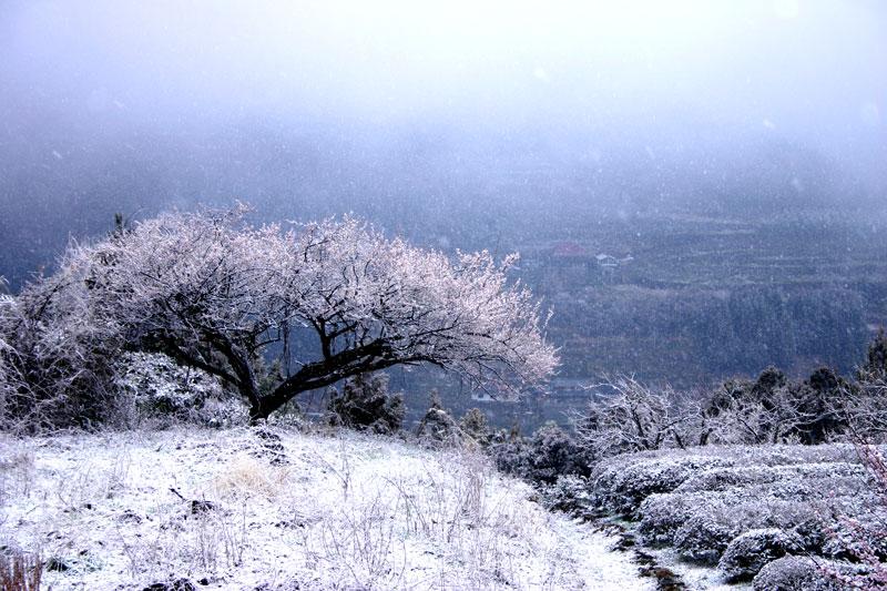 小雪降る梅樹 (徳島県 吉野川市 美郷)
