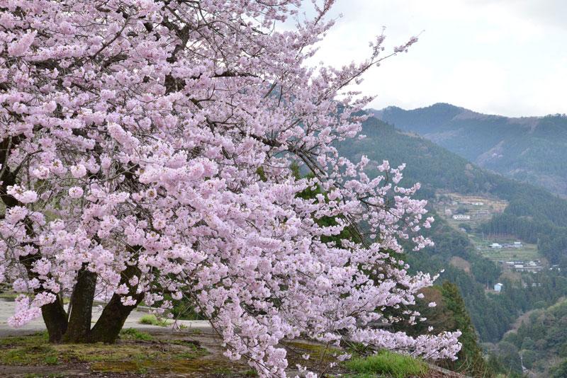 釣鐘桜咲く (徳島県 吉野川市 美郷)