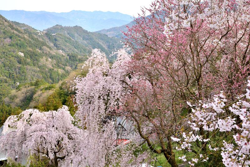花覆う山里1 (徳島県 美馬郡 つるぎ町)