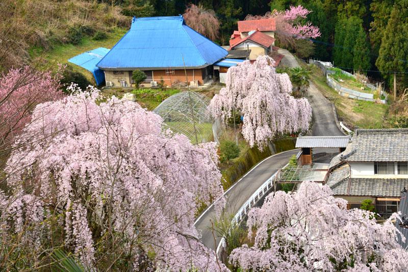 花覆う山里2 (徳島県 美馬郡 つるぎ町)