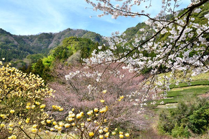 花溢れし山里 (徳島県 美馬市 穴吹)