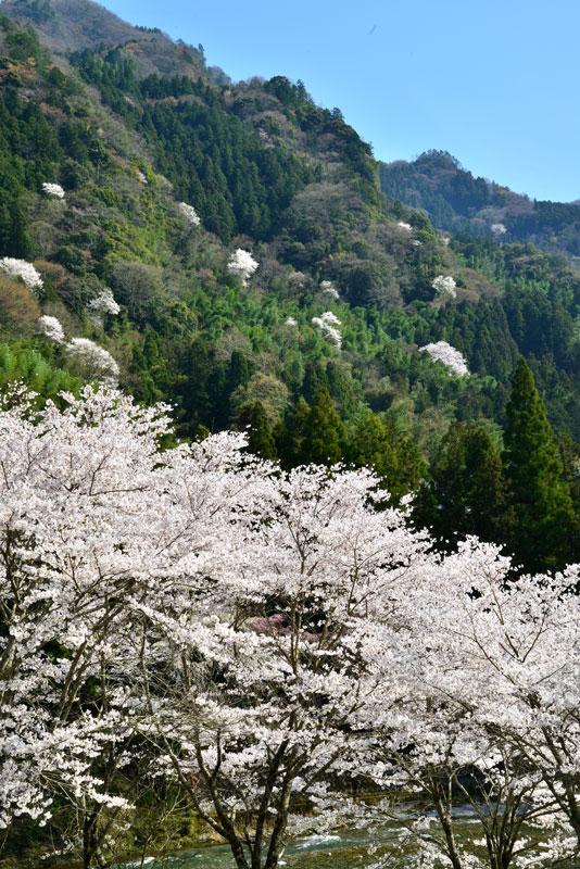 桜花満ちる (徳島県 美馬市 穴吹)