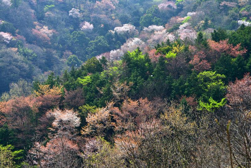 山桜1 (香川県 高松市 牟礼町)
