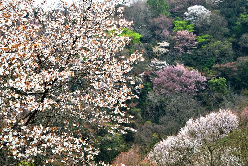 光る山桜  (香川県 高松市 牟礼町)
