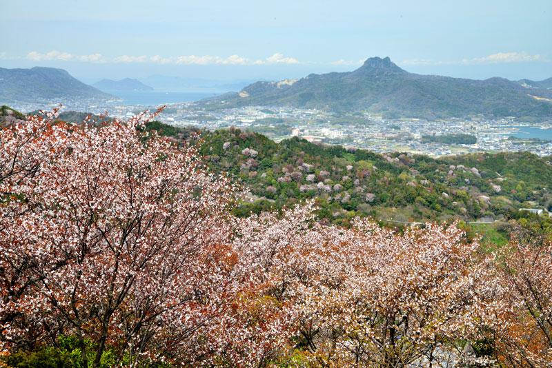 山桜爛漫1 (香川県 さぬき市 志度町)