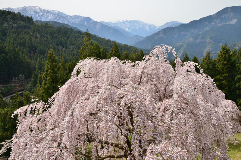 華やかに咲く (徳島県 美馬市 木屋平)
