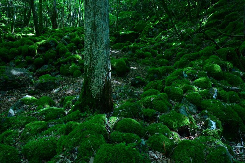 苔の原生林1 (徳島県 勝浦郡 上勝町 山犬嶽)