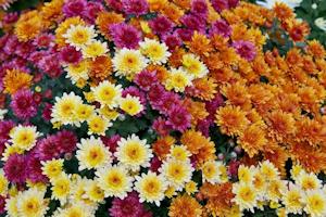 菊が咲き乱れる