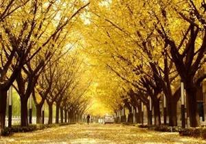 色づく銀杏並木