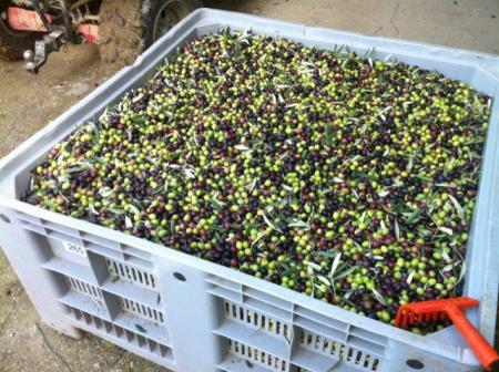 収穫した200キロのオリーブ