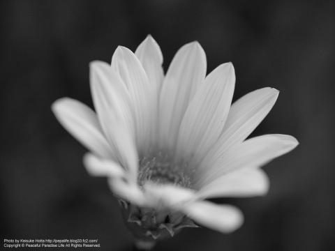 モノクロの白い花
