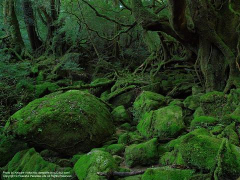 屋久島 白谷雲水峡 苔むす森